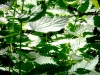 Waldlichter 02 - Brennessel